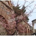 何? 桜?